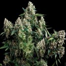 Tutankhamon Feminized
