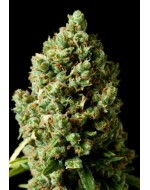 Critical Kush feminized оптом