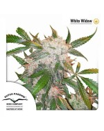 White Widow feminised Dutch Passion