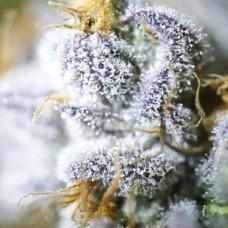 Авто феминизированные семена конопли Auto Blueberry Feminized  оптом
