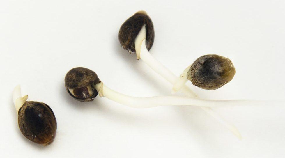 Пророст семян конопли выбрать хорошую марихуану
